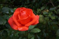 Różana rewolucjonistka obraz royalty free