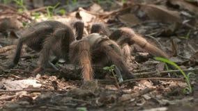 Różana Włosiana tarantula Outdoors zbiory