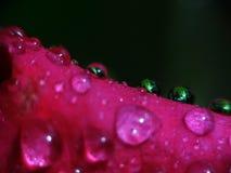Różane płatka n krople Zdjęcie Royalty Free