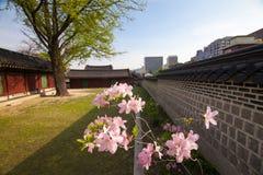 Różanecznik gałąź w Changdeokgung pałac w Seul, Korea Zdjęcia Royalty Free