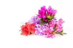 Różanecznik kwitnie skład Zdjęcia Royalty Free