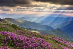 Różanecznik w Carpathians Obraz Royalty Free