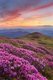 Różanecznik w górach Obrazy Royalty Free