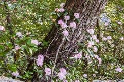 Różanecznik w pełnym kwiacie Zdjęcia Royalty Free