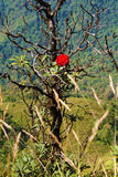 Różanecznik Wzrastał na górze Zdjęcie Royalty Free