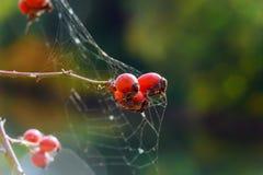 różani biodra są pajęczynowi Zdjęcia Royalty Free