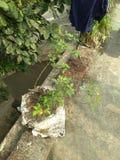 Różani drzewa bez kwiatów fotografia royalty free