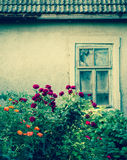 Różani krzaki z łamanym okno fotografia royalty free