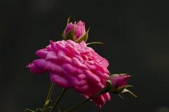 Różani płatki i pączki z rosa kroplami Zdjęcia Royalty Free