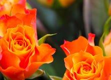 Różani płatki, róże Zdjęcia Royalty Free