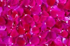 Różani różani płatki rozpraszający herbaty pole jako tło Fotografia Stock