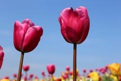 Różani tulipany w Keukenhof zdjęcie stock