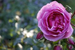 różany łosoś Obrazy Stock