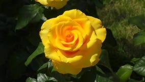 Różany żółty kolor zbiory