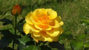 Różany żółty kolor zbiory wideo