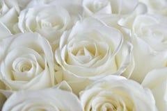 Różany biel tło Zdjęcie Stock