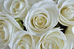 Różany biel tło Obrazy Stock