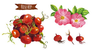 Różany biodro, akwareli ilustracja, ścinek ścieżka zawierać royalty ilustracja