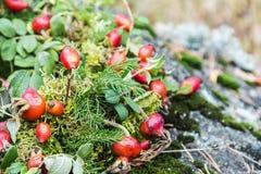Różany biodro jesieni wciąż życie przeciw Obraz Stock