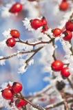 Różany biodro z lodowymi kryształami zdjęcia stock