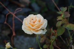 Różany blanche avec sa mouche obraz royalty free