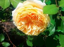 Różany blask świecy fotografia royalty free