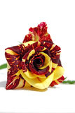 różany czerwieni kolor żółty Zdjęcie Royalty Free