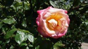 Różany czerwony kolor żółty fotografia stock