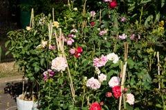 Różany drzewny biznes, ogród różany, Wzrastał kwiaty drzewnych na sprzedaży Obrazy Royalty Free