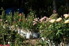 Różany drzewny biznes, ogród różany, Wzrastał kwiaty drzewnych na sprzedaży Zdjęcie Stock