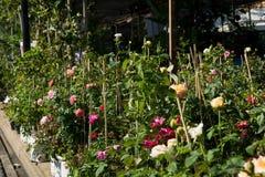 Różany drzewny biznes, ogród różany, Wzrastał kwiaty drzewnych na sprzedaży Obraz Stock