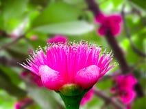 Różany jabłczany kwiat na drzewie Fotografia Stock