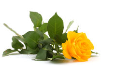 różany kolor żółty fotografia stock
