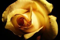 różany kolor żółty Zdjęcie Royalty Free