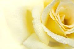 różany kolor żółty obraz royalty free
