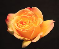 różany kolor żółty Obraz Stock