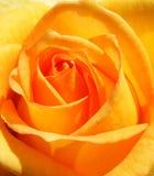 różany kolor żółty Zdjęcie Stock