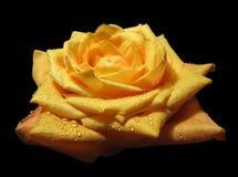 różany kolor żółty Zdjęcia Stock