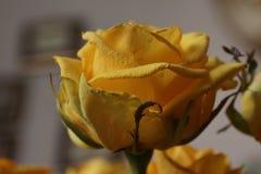 różany kolor żółty bukiet Makro- Zdjęcie Royalty Free
