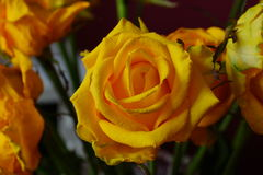 różany kolor żółty bukiet Makro- Obrazy Stock