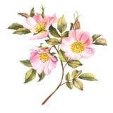 Różany krzak w okwitnięciu ilustracja wektor