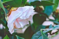 Różany krzak z delikatnie różowymi kwiatami, raindrops na płatkach Kwiaty po deszczu obrazy royalty free