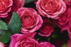Różany krzaka wiadro na prostym backround fotografia stock