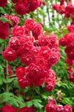 Różany kwiatu łóżko w ogródzie Zdjęcie Royalty Free
