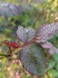Różany liść Zdjęcie Stock