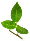Różany liść z badylem Zdjęcia Stock