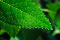 Różany liścia zakończenie Zdjęcia Royalty Free