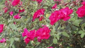 Różany nush w pełnym kwiacie i świetle słonecznym zdjęcie wideo