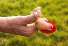 różany pączka senior Obraz Stock