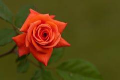 Różany tło Obraz Royalty Free